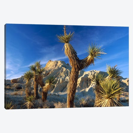 Joshua Tree Cluster In Red Rock Canyon State Park, California Canvas Print #TFI489} by Tim Fitzharris Canvas Wall Art