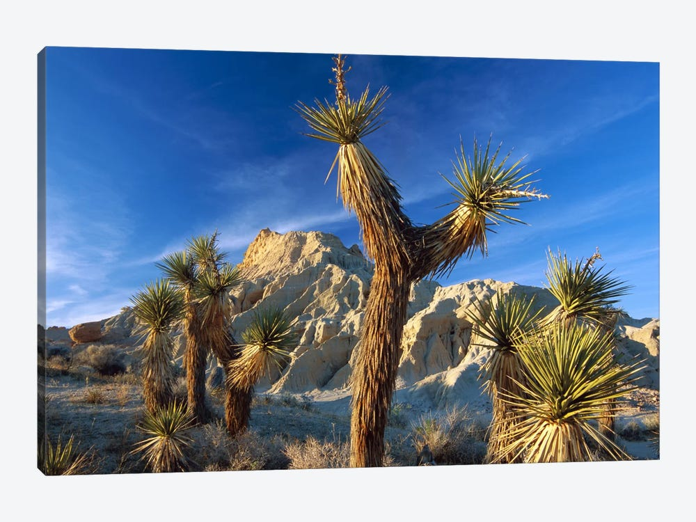 Joshua Tree Cluster In Red Rock Canyon State Park, California by Tim Fitzharris 1-piece Canvas Wall Art
