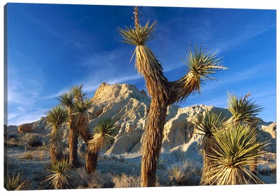 Joshua Tree Cluster In Red Rock Canyon State Park, California Canvas Art Print