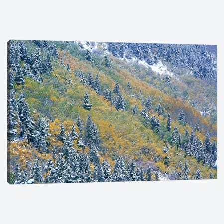Aspen And Spruce Trees Dusted With Snow, Rocky Mountain National Park, Colorado Canvas Print #TFI48} by Tim Fitzharris Canvas Artwork