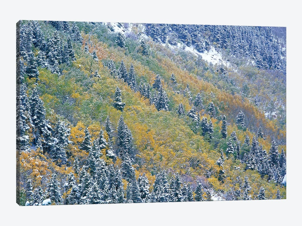 Aspen And Spruce Trees Dusted With Snow, Rocky Mountain National Park, Colorado by Tim Fitzharris 1-piece Canvas Art