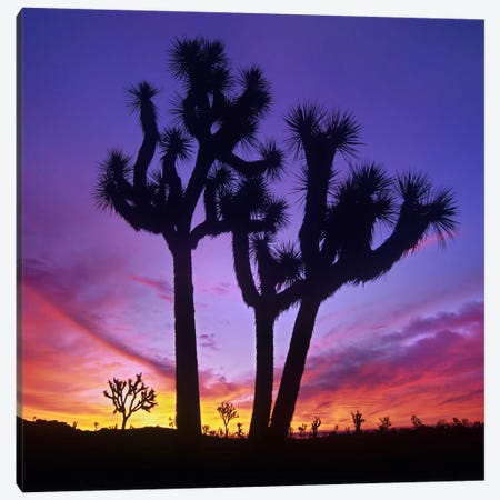 Joshua Tree Group At Sunrise Near Quail Springs, Joshua Tree National Park, California Canvas Print #TFI490} by Tim Fitzharris Canvas Print