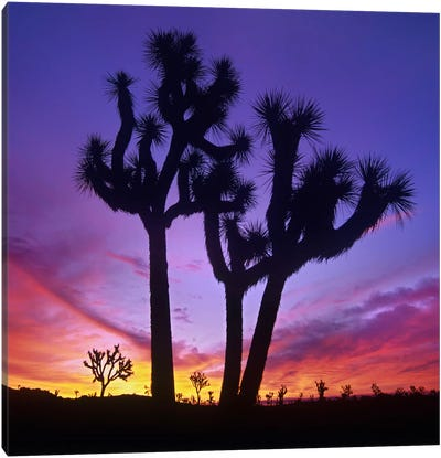 Joshua Tree Group At Sunrise Near Quail Springs, Joshua Tree National Park, California Canvas Art Print