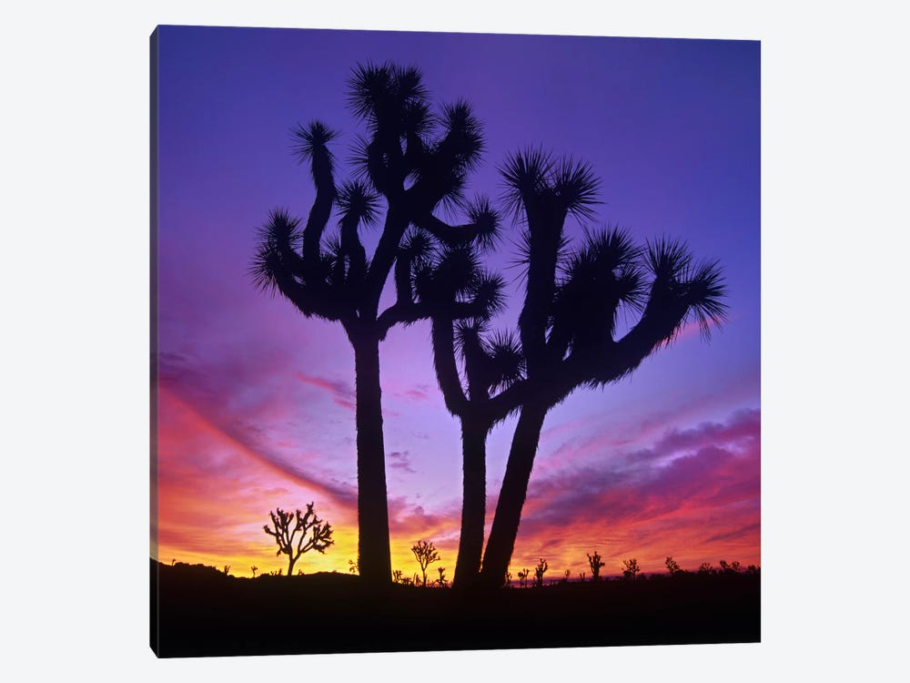 Joshua Tree Group At Sunrise Near Quail Springs, Joshua Tree National Park, California by Tim Fitzharris 1-piece Canvas Art