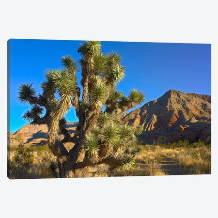 Joshua Tree With The Virgin Mountains, Arizona Canvas Print #TFI491} by Tim Fitzharris Canvas Print