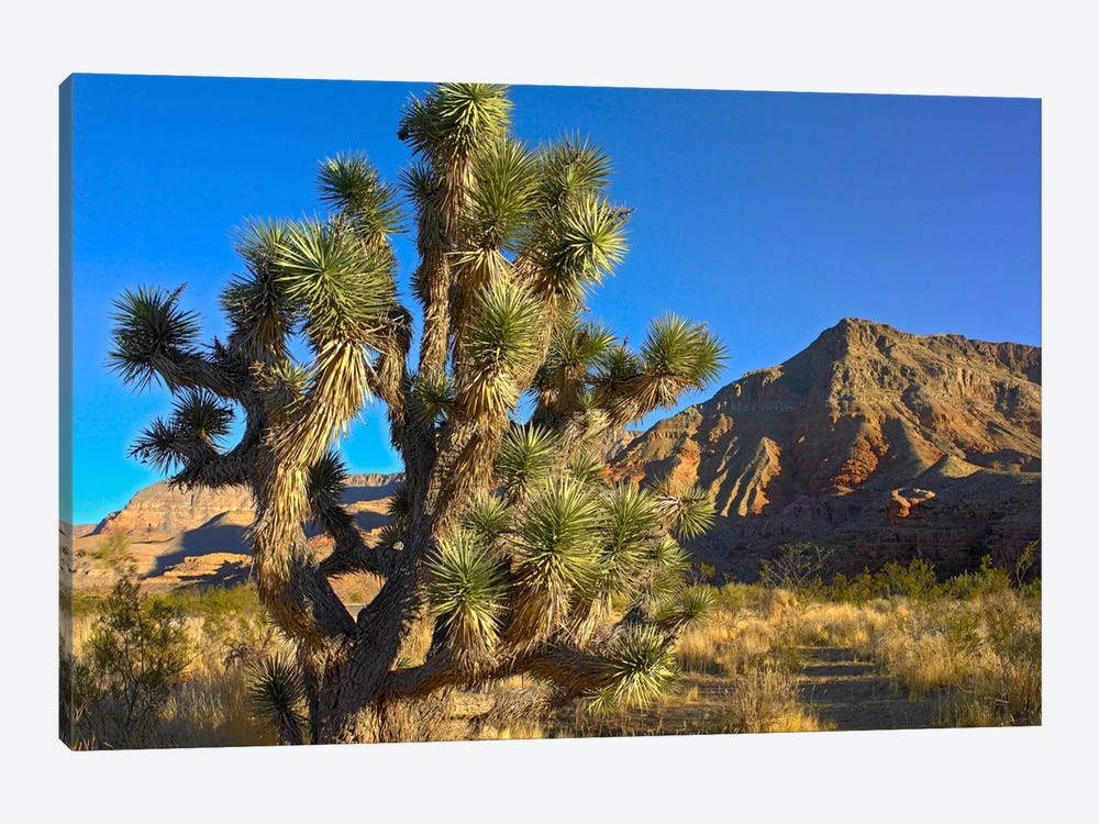 Joshua Tree With The Virgin Mountains, Arizona by Tim Fitzharris 1-piece Art Print
