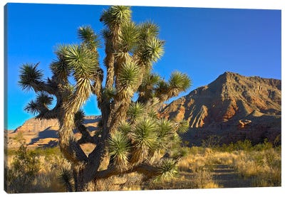 Joshua Tree With The Virgin Mountains, Arizona Canvas Art Print