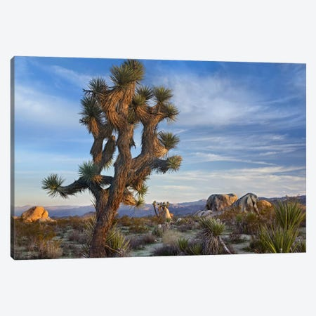 Joshua Tree, Joshua Tree National Park, California Canvas Print #TFI493} by Tim Fitzharris Canvas Print