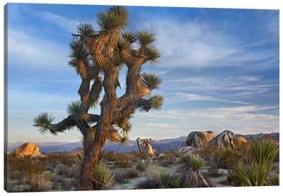 Joshua Tree, Joshua Tree National Park, California Canvas Art Print