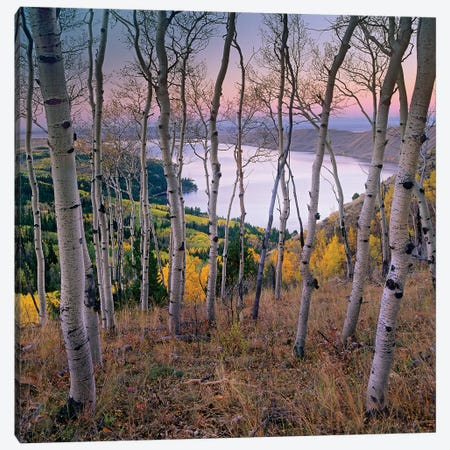 Aspen Forest Overlooking Fremont Lake, Bridger-Teton National Forest, Wyoming I Canvas Print #TFI49} by Tim Fitzharris Canvas Art