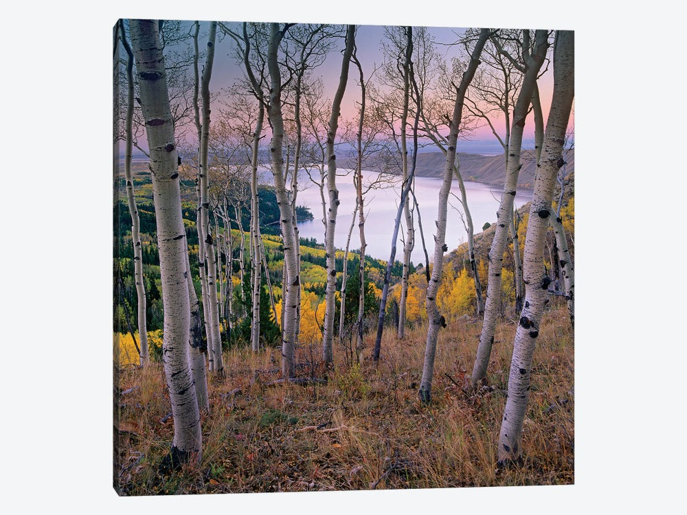 Aspen Forest Overlooking Fremont Lake, Bridger-Teton National Forest, Wyoming I by Tim Fitzharris 1-piece Canvas Print