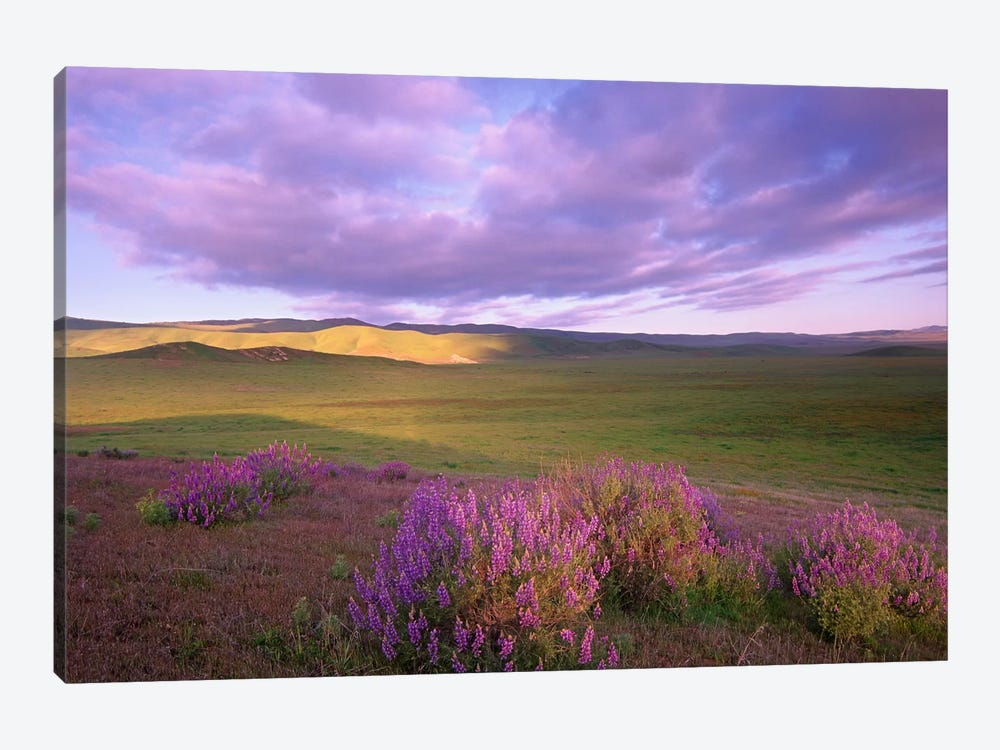 Large-Leaved Lupine In Bloom Overlooking Grassland, Carrizo Plain National Monument, California by Tim Fitzharris 1-piece Canvas Art