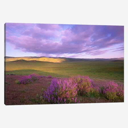 Large-Leaved Lupine In Bloom Overlooking Grassland, Carrizo Plain National Monument, California Canvas Print #TFI511} by Tim Fitzharris Canvas Artwork