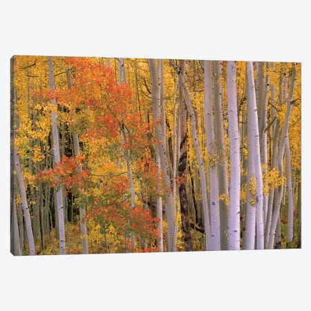Aspens At Independence Pass, Colorado Canvas Print #TFI51} by Tim Fitzharris Canvas Art Print