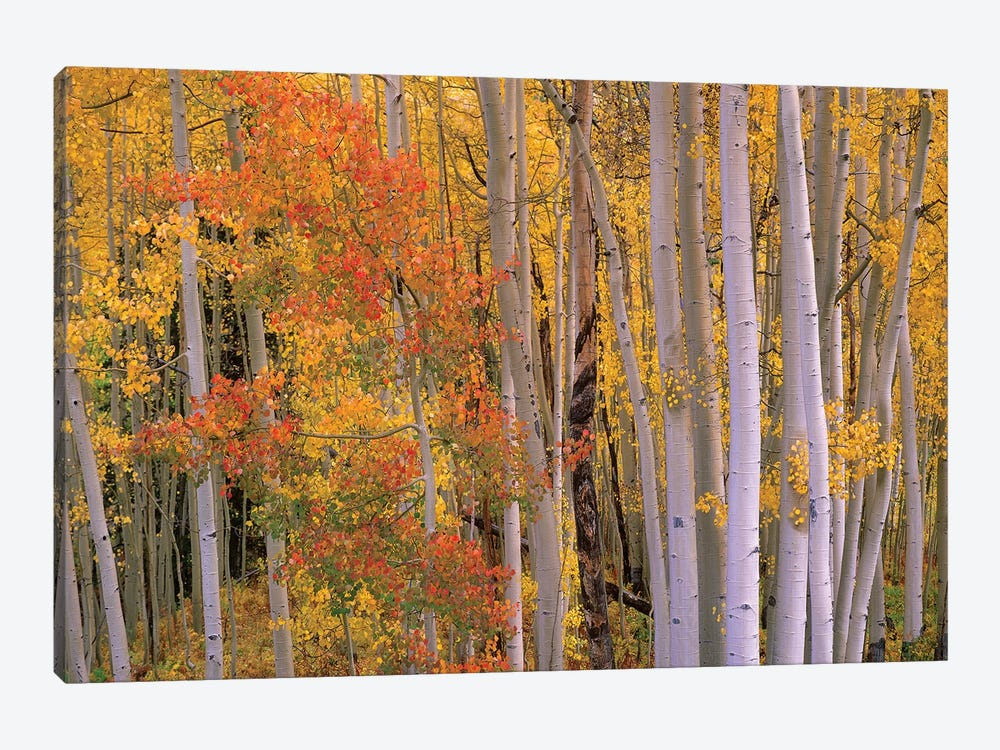 Aspens At Independence Pass, Colorado by Tim Fitzharris 1-piece Canvas Artwork