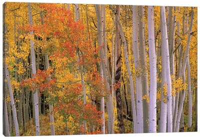 Aspens At Independence Pass, Colorado Canvas Art Print