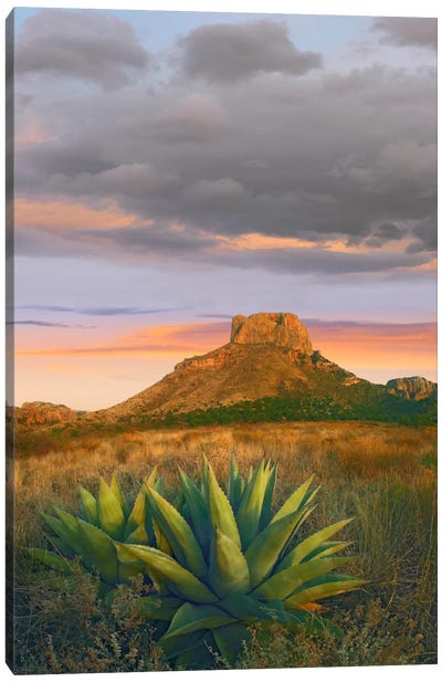 Lechuguilla Agave With Casa Grande In The Distance, Big Bend National Park, Texas Canvas Art Print