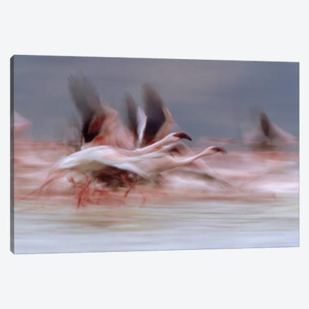 Lesser Flamingo Flock Taking Flight From The Surface Of A Lake, Kenya I Canvas Print #TFI526} by Tim Fitzharris Canvas Artwork