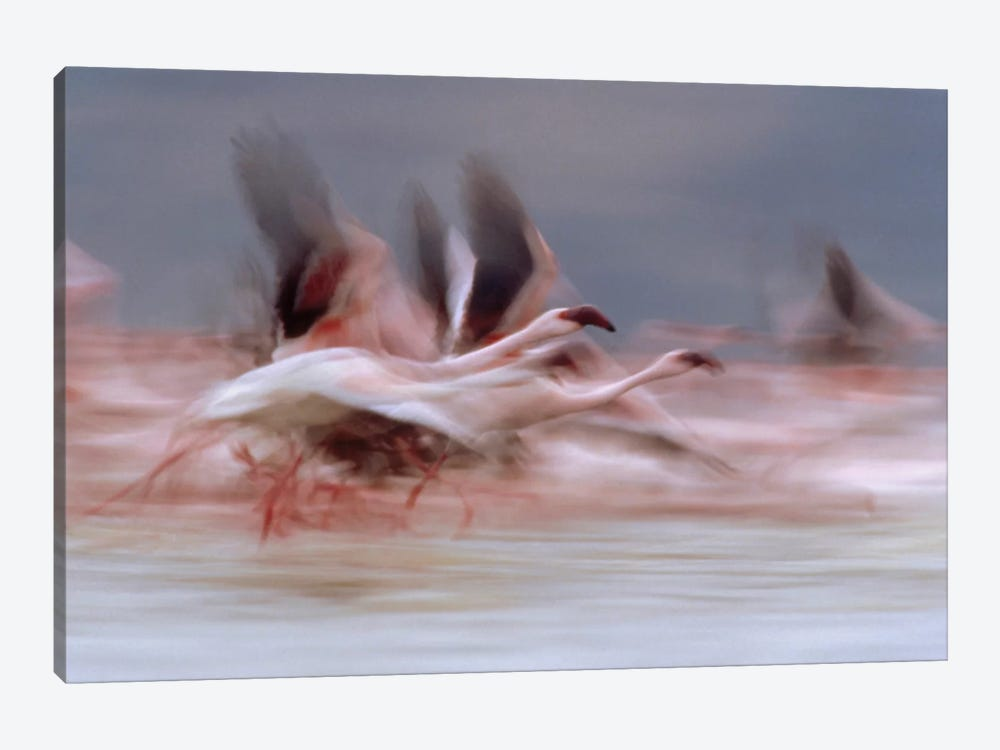 Lesser Flamingo Flock Taking Flight From The Surface Of A Lake, Kenya I by Tim Fitzharris 1-piece Canvas Art