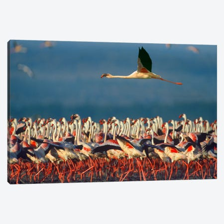 Lesser Flamingo Flying Over Flock, Lake Nakuru, Kenya Canvas Print #TFI528} by Tim Fitzharris Canvas Print