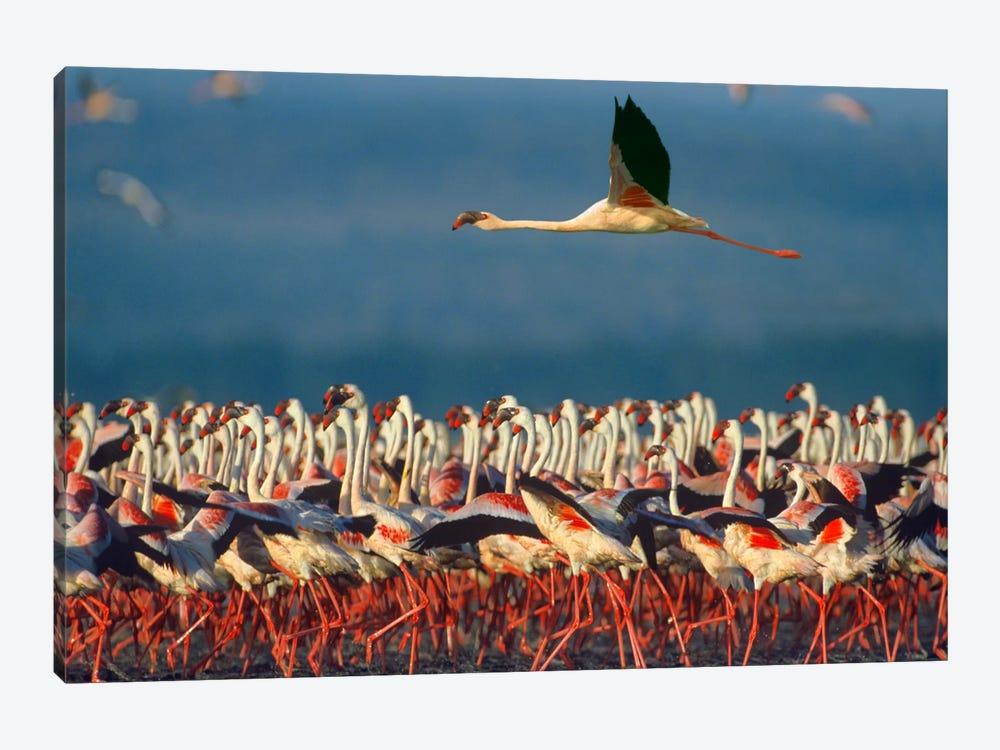 Lesser Flamingo Flying Over Flock, Lake Nakuru, Kenya by Tim Fitzharris 1-piece Canvas Wall Art