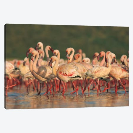 Lesser Flamingo Group Parading In A Mass Courtship Dance, Lake Bogoria, Kenya Canvas Print #TFI529} by Tim Fitzharris Art Print