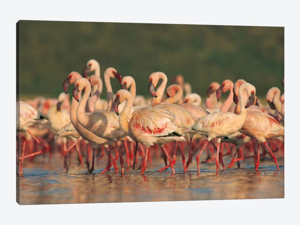 Lesser Flamingo Group Parading In A Mass Courtship Dance, Lake Bogoria, Kenya by Tim Fitzharris 1-piece Art Print