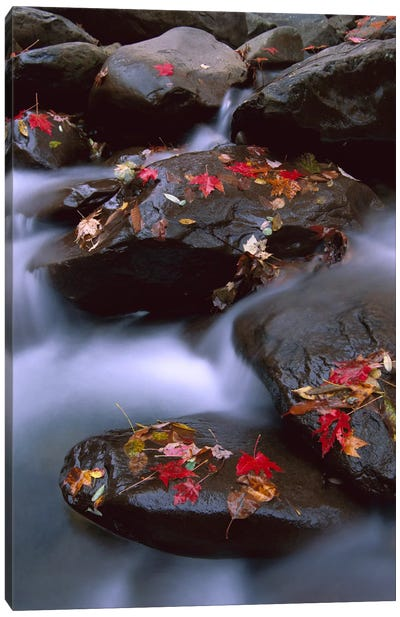Little Pigeon River, Cascading Among Rocks And Colorful Fall Maple Leaves, Great Smoky Mountains National Park, Tennessee III Canvas Art Print