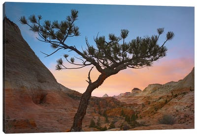 Lone Pine Tree With East And West Temples In The Background, Zion National Park, Utah Canvas Art Print