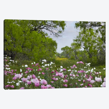 Long Pricklyhead Poppy Field Near Christine, Texas Canvas Print #TFI542} by Tim Fitzharris Canvas Print