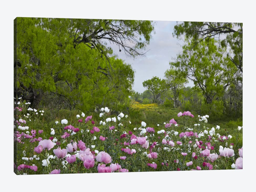 Long Pricklyhead Poppy Field Near Christine, Texas by Tim Fitzharris 1-piece Canvas Artwork