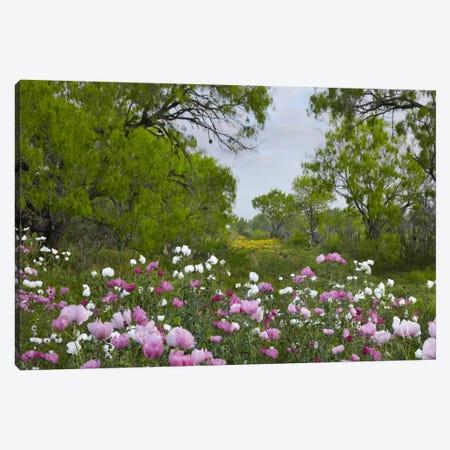 Long Pricklyhead Poppy Field Near Christine, Texas Canvas Print #TFI542} by Tim Fitzharris Canvas Print