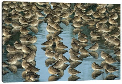 Long-Billed Dowitcher Flock Sleeping In Shallow Water, North America Canvas Art Print
