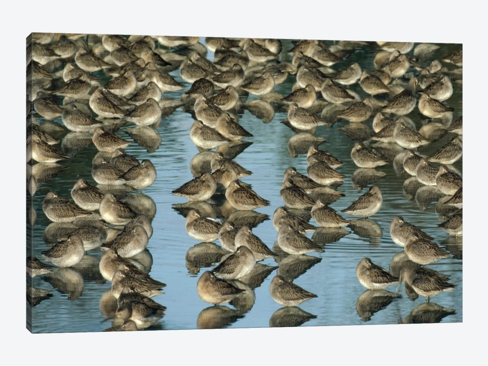 Long-Billed Dowitcher Flock Sleeping In Shallow Water, North America by Tim Fitzharris 1-piece Art Print