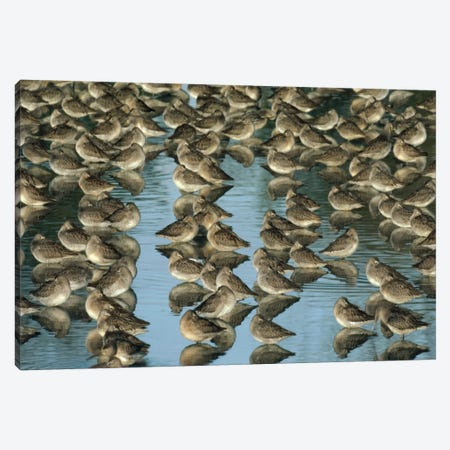 Long-Billed Dowitcher Flock Sleeping In Shallow Water, North America Canvas Print #TFI543} by Tim Fitzharris Art Print