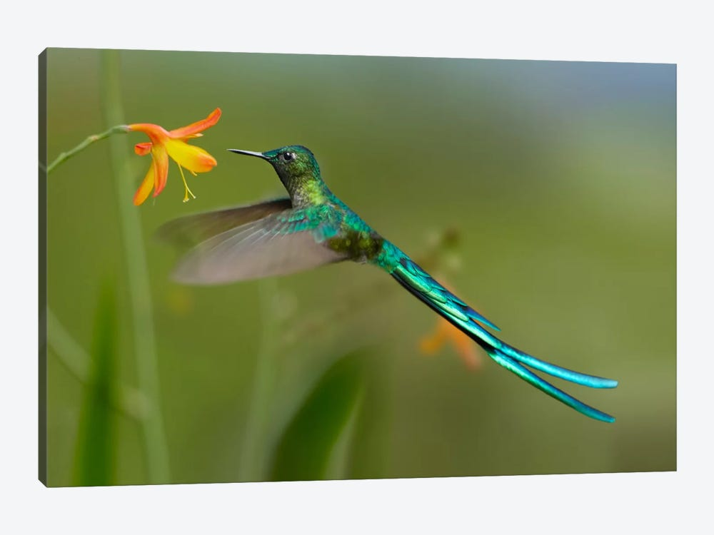 Long-Tailed Sylph Feeding On Flower Nectar, Jurong Bird Park, Singapore by Tim Fitzharris 1-piece Canvas Wall Art
