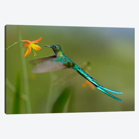 Long-Tailed Sylph Feeding On Flower Nectar, Jurong Bird Park, Singapore Canvas Print #TFI544} by Tim Fitzharris Canvas Art