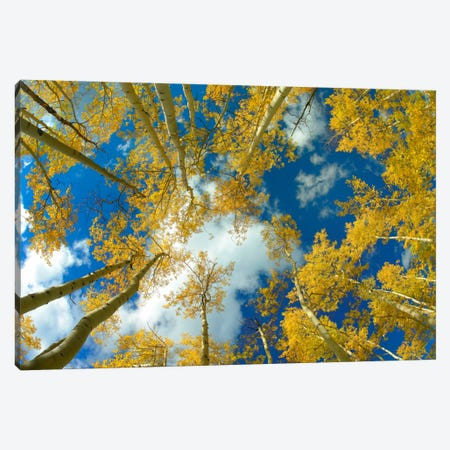Looking Up At Blue Sky Through A Canopy Of Fall Colored Aspen Trees, Colorado Canvas Print #TFI546} by Tim Fitzharris Canvas Wall Art