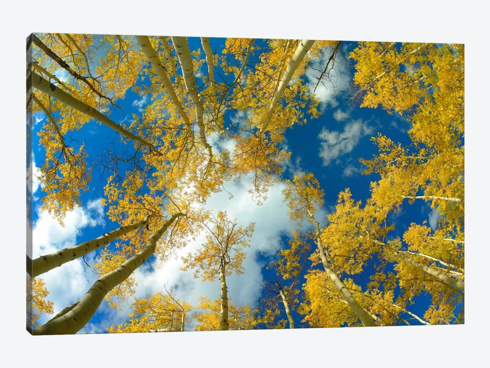 Looking Up At Blue Sky Through A Canopy Of Fall Colored Aspen Trees, Colorado by Tim Fitzharris 1-piece Canvas Wall Art