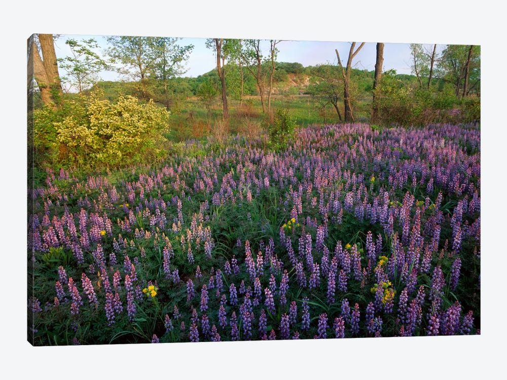 Lupine In Meadow At West Beach, Indiana Dunes National Lakeshore, Indiana by Tim Fitzharris 1-piece Canvas Artwork