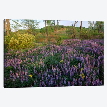 Lupine In Meadow At West Beach, Indiana Dunes National Lakeshore, Indiana Canvas Print #TFI555} by Tim Fitzharris Canvas Print