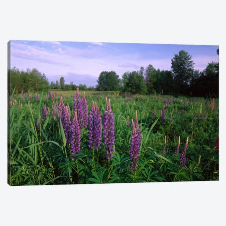 Lupine In Meadow Near Crescent Beach, British Columbia, Canada Canvas Print #TFI556} by Tim Fitzharris Canvas Print