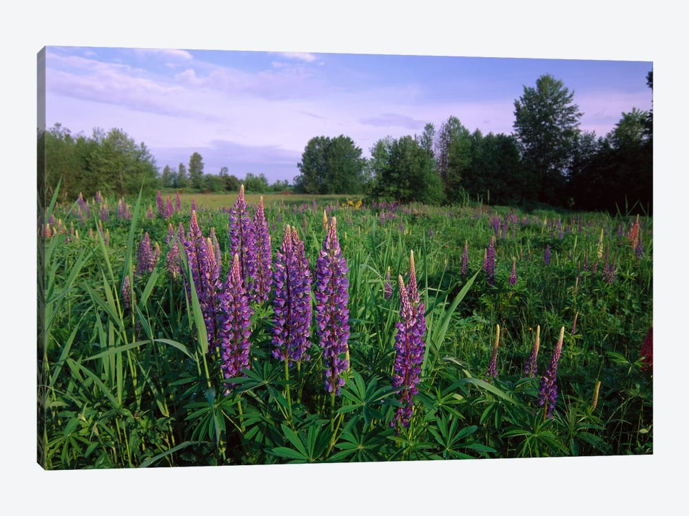 Lupine In Meadow Near Crescent Beach, British Columbia, Canada by Tim Fitzharris 1-piece Canvas Print
