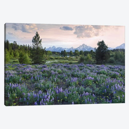 Lupine Meadow, Grand Teton National Park, Wyoming Canvas Print #TFI557} by Tim Fitzharris Canvas Art Print