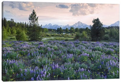 Lupine Meadow, Grand Teton National Park, Wyoming Canvas Art Print