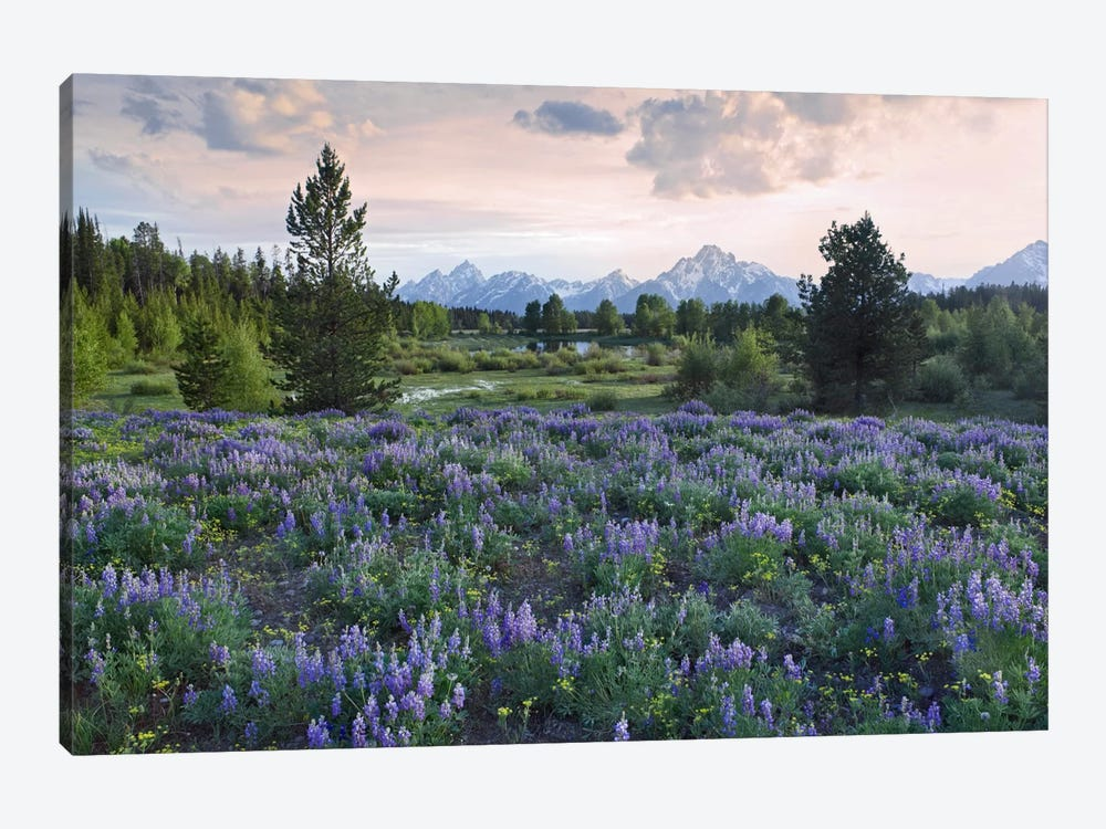 Lupine Meadow, Grand Teton National Park, Wyoming by Tim Fitzharris 1-piece Canvas Wall Art