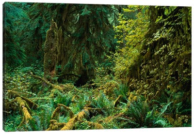 Lush Vegetation In The Hoh Rain Forest, Olympic National Park, Washington Canvas Art Print