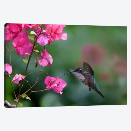 Magnificent Hummingbird Female Feeding At Flower, Costa Rica Canvas Print #TFI559} by Tim Fitzharris Canvas Art