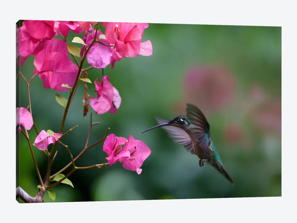 Magnificent Hummingbird Female Feeding At Flower, Costa Rica by Tim Fitzharris 1-piece Canvas Wall Art