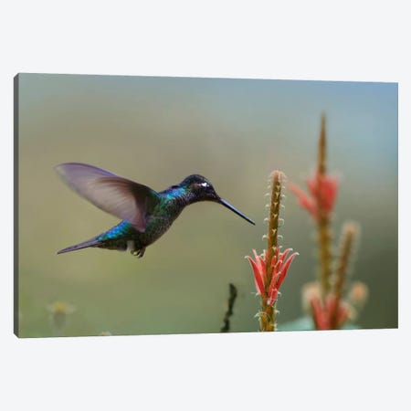 Magnificent Hummingbird Male Foraging, Costa Rica Canvas Print #TFI560} by Tim Fitzharris Canvas Print